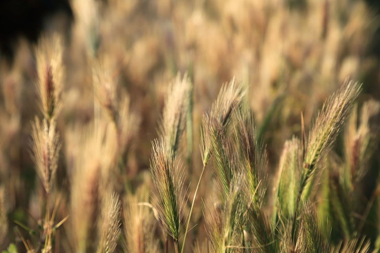 Beauty In Nature Botany Close-up Crop  Day Field Focus On Foreground Fragility Grass Growing Growth Landscape The Great Outdoors - 2016 EyeEm Awards Plant Rural Scene Selective Focus Sky Softness Stem Tranquil Scene Tranquility Wheat