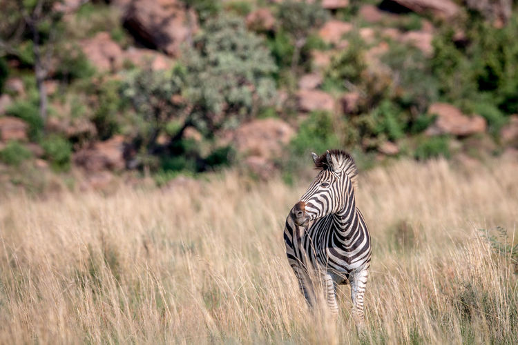Zebra standing in the grass in the Welgevonden game reserve, South Africa. Animal Themes Animal Animals In The Wild Animal Wildlife Wildlife Wildlife & Nature Wildlife Photography Nature Nature Photography Beauty In Nature Safari Safari Animals Kruger Park Travel Travel Destinations Africa African Safari African Beauty Mammal Zebra Striped Vertebrate Herbivorous Equus Quagga Burchell's Zebra