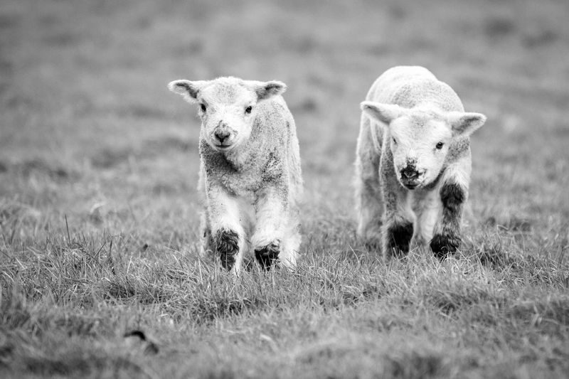 Animal Themes Baby Day Domestic Animals Field Grass Growth Growth Lamb Lambing Lambs Lamp Lamps Livestock Looking At Camera Mammal Nature No People Outdoors Pets Portrait Sheep Togetherness