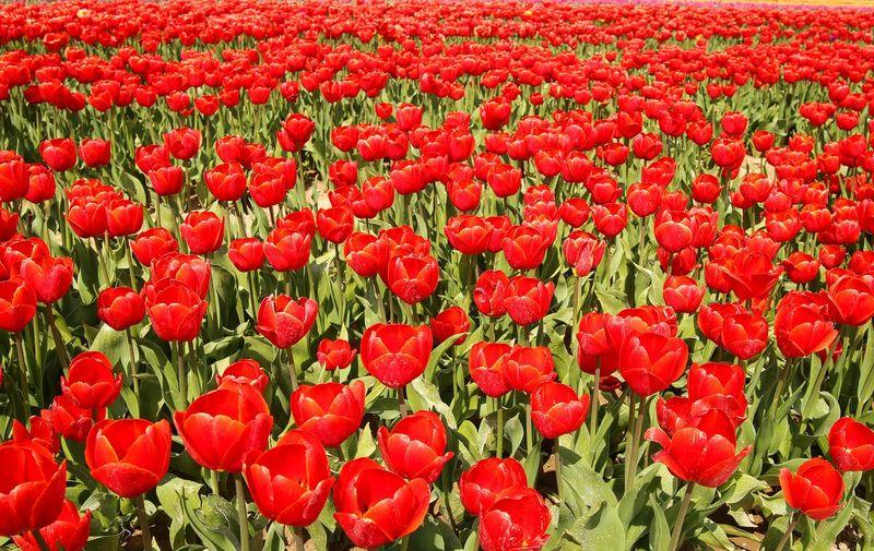 Full frame shot of red tulips in field