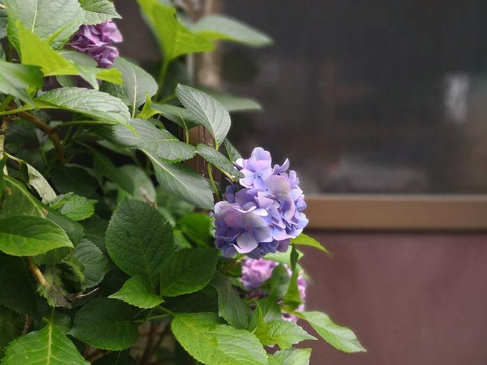 紫陽花 Huaweimate10pro Huawei Huaweiphotography Flower Head Flower Leaf Purple Petal Close-up Plant Green Color