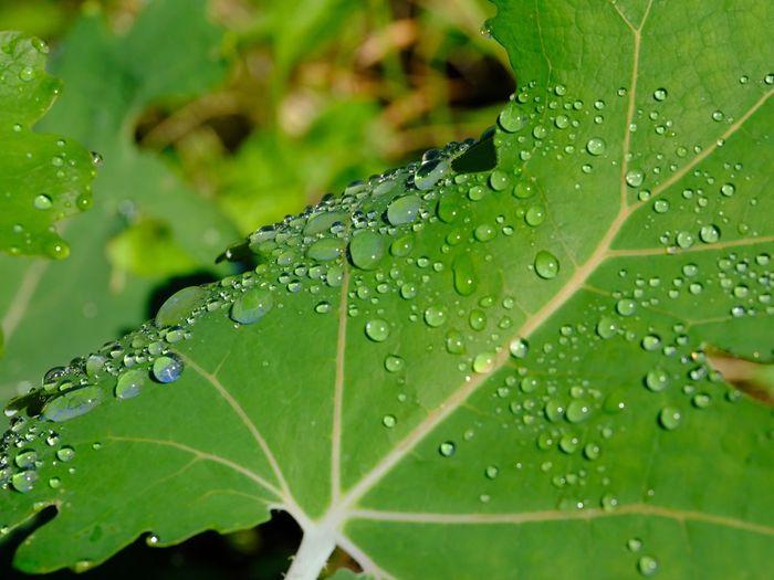 雨の後 Drop Plant Part Leaf Wet Water Green Color Close-up Plant No People Rain Day Focus On Foreground RainDrop Dew Freshness Beauty In Nature