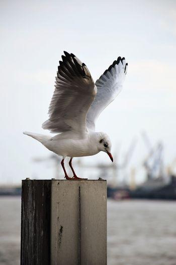 Seagull on wooden post