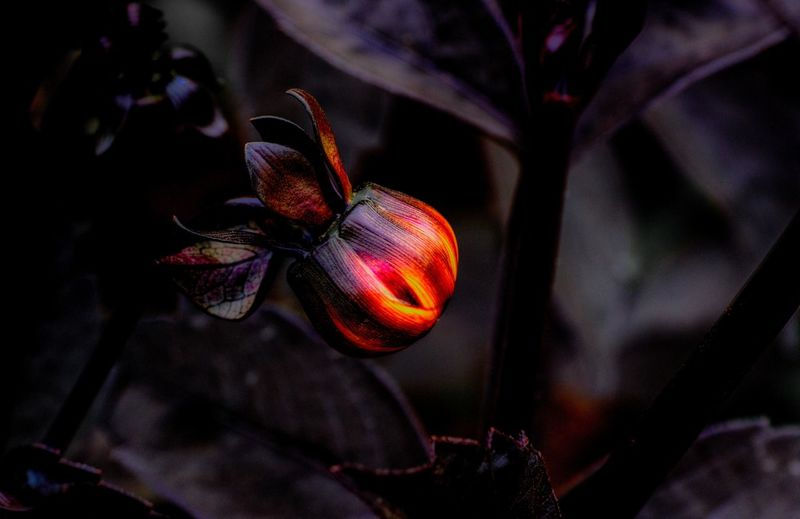 Fruit of Flame Cool Dark EyeEmNewHere Flame OSAKA Orange Red Beauty In Nature Close-up Flower Flowering Plant Flowers Focus On Foreground Freshness Growth Hirakata-shi,Japan Nature No People Plant Plant Part Red Red Color Selective Focus Vulnerability