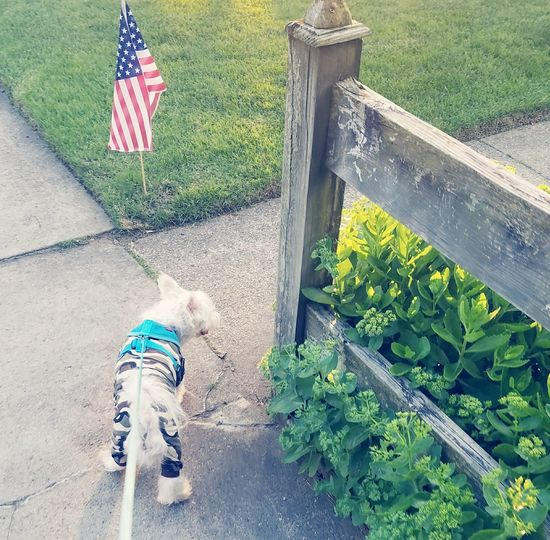Flag Patriotism Summer High Angle View Day Outdoors Maltese Dogs