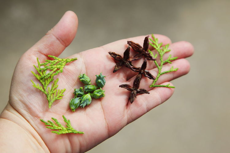 Beauty In Nature Berries Cedar Green Holding Juniper Leaf Leaves Natural Pattern Part Of Person Personal Perspective Seed Pod Seeds Showing Unrecognizable Person