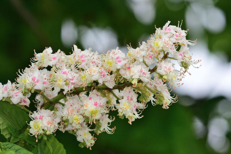 Close-up of horse chestnut blossom