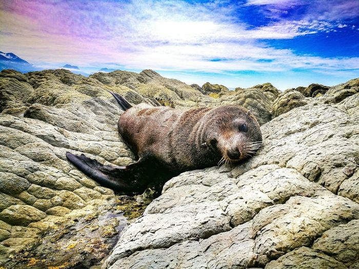 relaxed seal on rocks Kaikoura New Zealand New Zealand Scenery Animal Seelion Relaxed Relaxing Seal Beach Sunlight Sand Sky Close-up Shore Geology Rock Formation Rock Eroded Canyon Rocky Coastline Rocky Mountains Rough Arid Landscape
