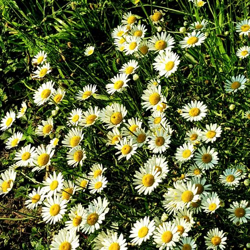 Daisies searching the Sunrise... Flower Head Flower Yellow Petal Summer Field Backgrounds Daisy Uncultivated Close-up In Bloom Plant Life