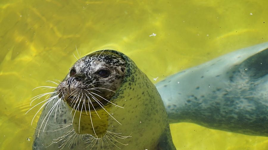 Animal Wildlife Two Animals Animals In The Wild Water Nature Close-up Day Animal Themes Outdoors Mammal UnderSea Robbe Seehund Funny Moments Animal Body Part Zoobesuch Tadaa Community Check This Out Animal Face Animal Head  EyeEmBestPics Focus On Foreground Taking Photos Zoo Animals  Sunny Day