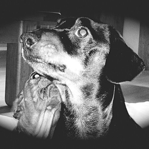 Pets Animal Themes No People Daschund Doxie Close-up Blackandwhite Loving Life! Uncle And Nephew Togerherness Reggie was only a few months old when i took this Beautiful photo 😘