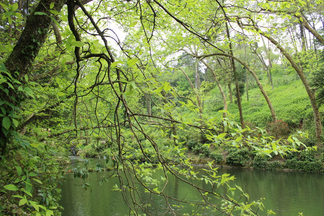nature, tree, forest, beauty in nature, water, tranquility, green color, outdoors, growth, day, lake, no people, tranquil scene, scenics, branch, leaf