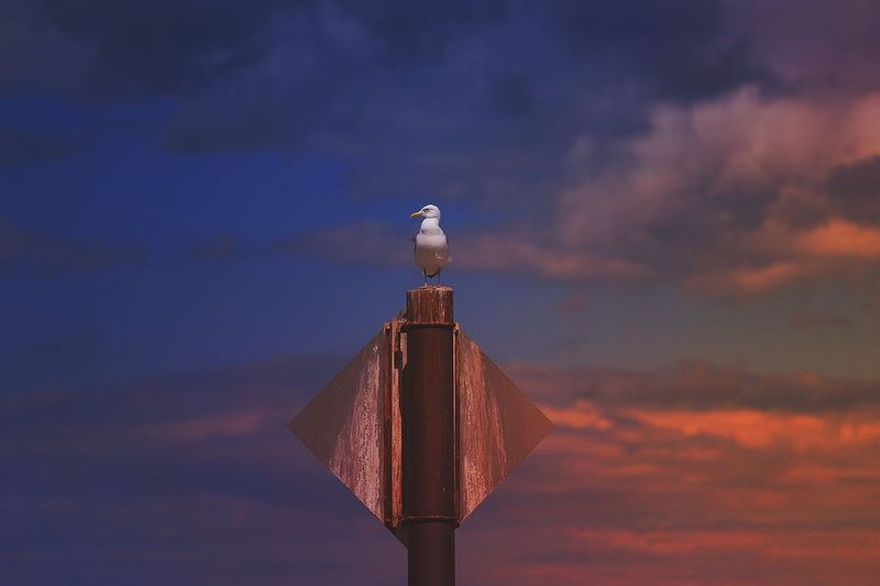Breathing Space EyeEm Selects Bird Perching One Animal Sky Cloud - Sky Sunset No People Animals In The Wild Animal Themes Outdoors Low Angle View Nature Animal Wildlife Seagull Day Wooden Post Beauty In Nature Close-up