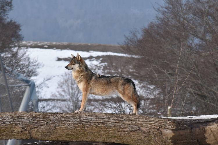 Wolf Vaud