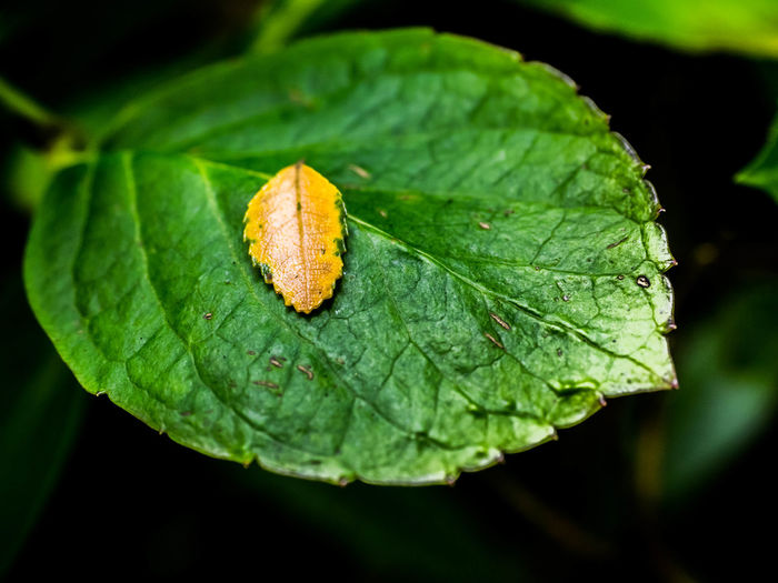 Animal Themes Beauty In Nature Big And Small Close-up Contrast Day Fragility Freshness Green Green Color Growth Large Leaves Leaf Nature New And Old No People Outdoors Plant Small And Large Small Leaves Yellow Leaf