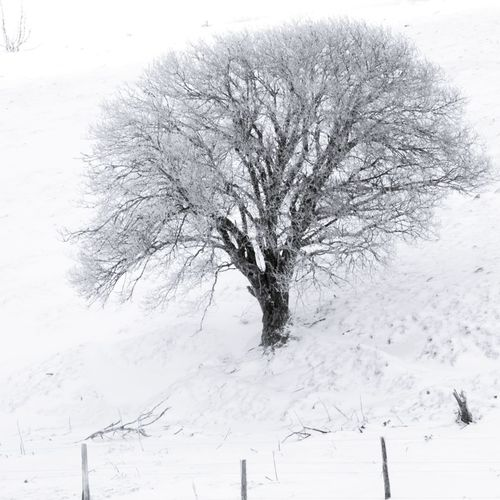 One tree in snow - auvergne - france Snow Cold Temperature Winter Tree Bare Tree Plant Beauty In Nature Branch Tranquility Land Field Environment Tranquil Scene Covering Scenics - Nature No People White Color Nature Day Isolated Outdoors Cold Snowing Auvergne