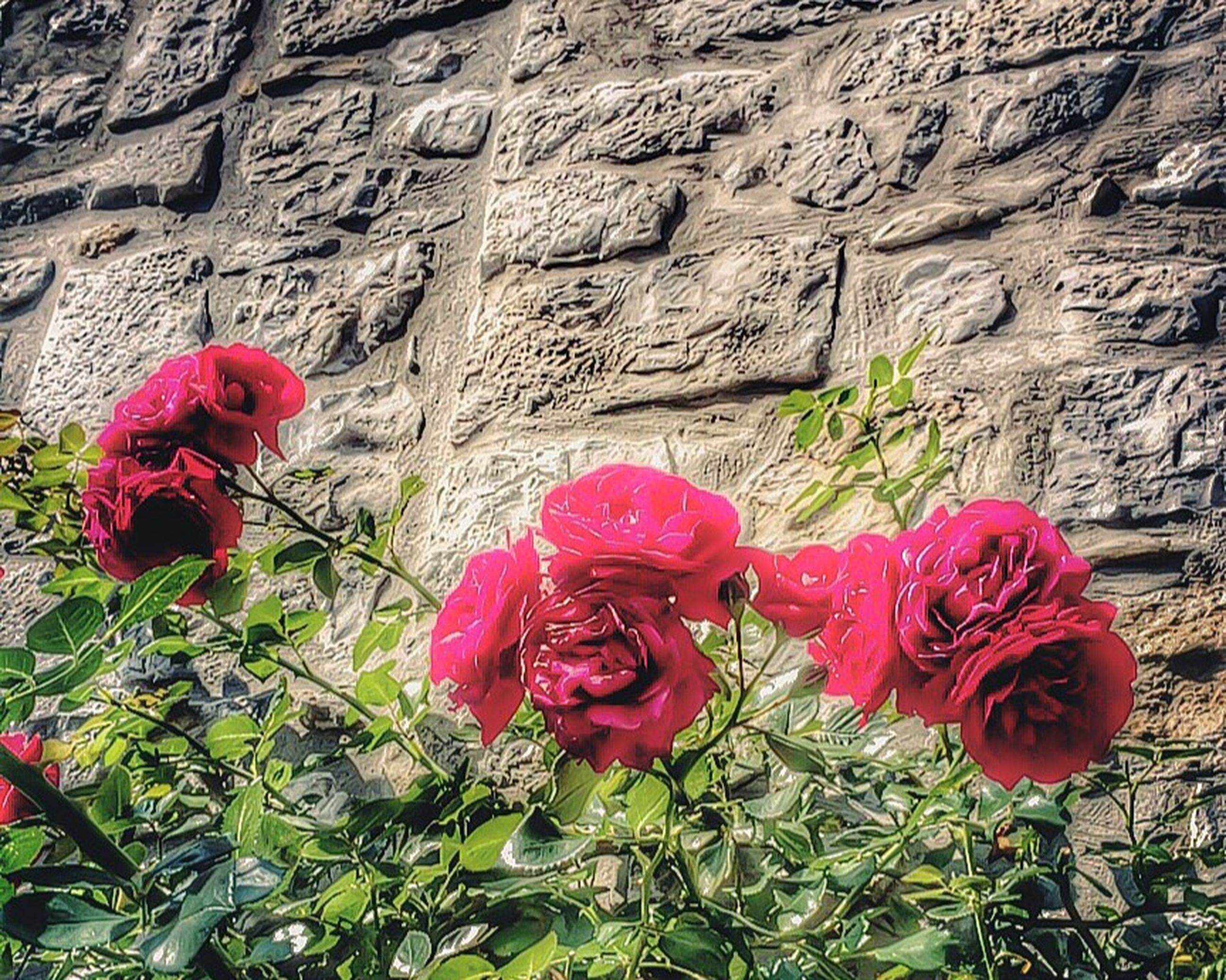 flower, red, petal, freshness, fragility, plant, flower head, growth, beauty in nature, blooming, pink color, nature, rose - flower, close-up, day, wall - building feature, outdoors, built structure, in bloom, no people