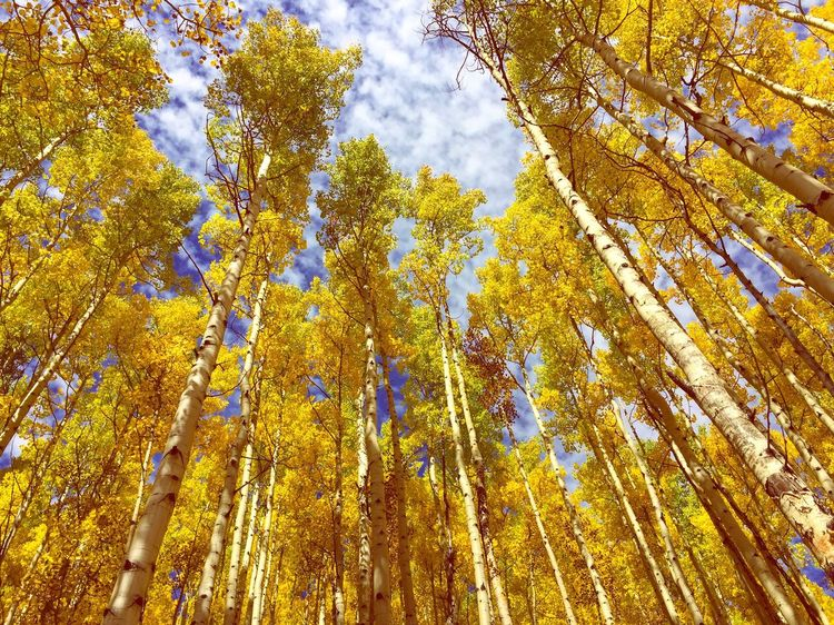 Fall! Tree Nature Forest Low Angle View Autumn Branch Multi Colored Beauty In Nature Tree Trunk Outdoors No People Close-up Sky Day Fall Colors Fall Leaves Colorado Life Colorful Colorado Aspen Maroonbells First Eyeem Photo The Great Outdoors - 2017 EyeEm Awards
