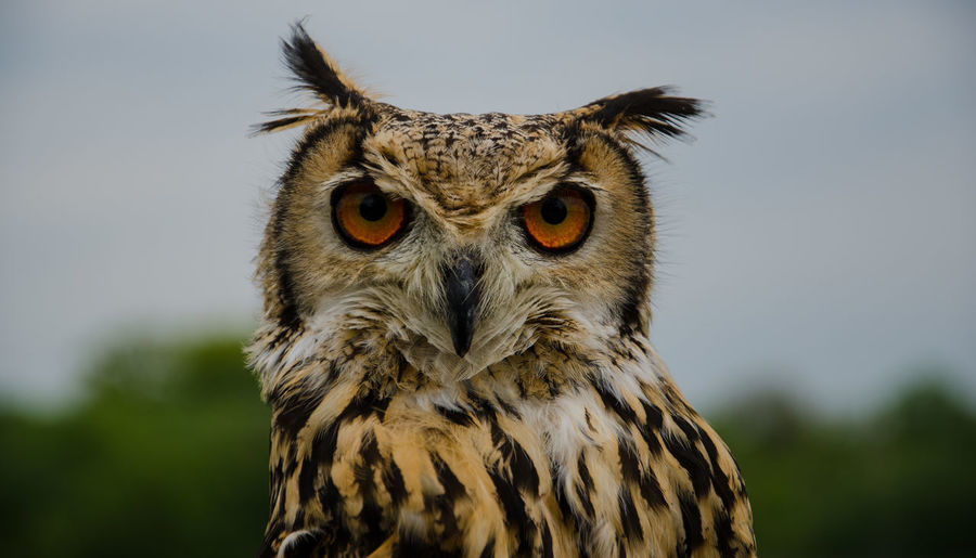 Close-Up Portrait Of Horned Owl