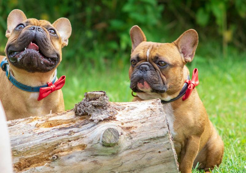 Französische Bulldogge  Hundefotografie Tierfotografie Dogs Of EyeEm Hundeportrait EyEmselect Düsseldorf Butsosexy Dogs Hunde Dogs Life #hundefoto EyeEm Selects Pets Dog Sitting Portrait Puppy Grass