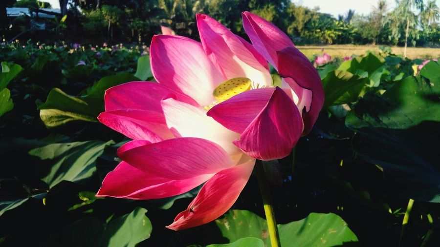 Happy New Year 🎡2017 Happy New Year Happyallthetimez Hello World Hellothailand Lotus Flower Flowerlovers Flower Collection Flowers, Nature And Beauty