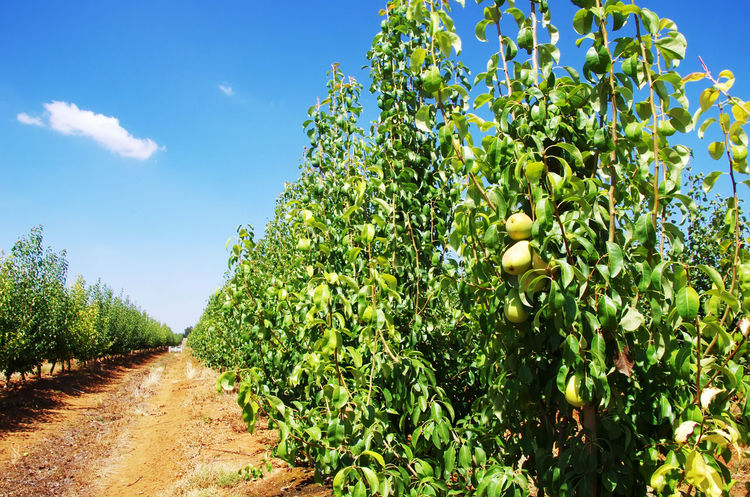 ripe pears in a pear orchard Agriculture Field Food And Drink Fruit Green Color Growth Landscape Nature Plant Plantation Ripe Pears Rural Scene Sky Tree