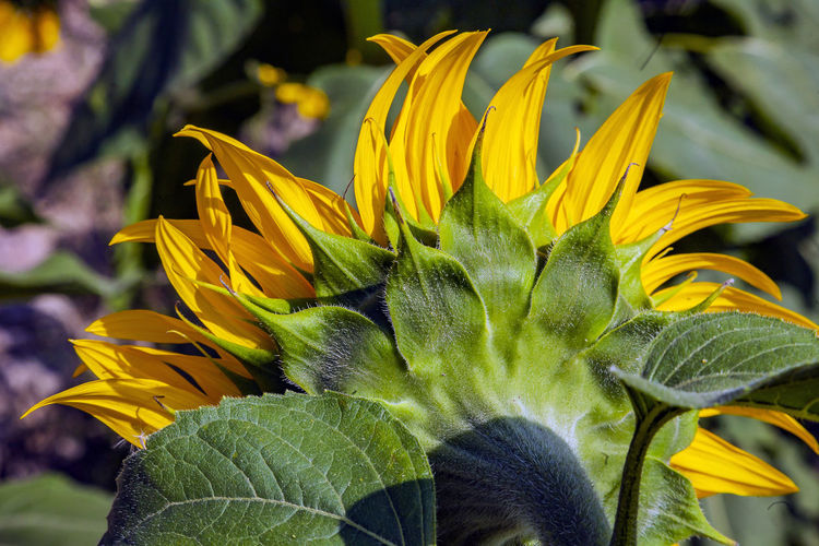 Flower Flowering Plant Freshness Plant Yellow Vulnerability  Fragility Flower Head Growth Inflorescence Close-up Beauty In Nature Petal Focus On Foreground Nature Day Leaf Plant Part Green Color No People Sunflower Outdoors Pollen Sepal Gazania