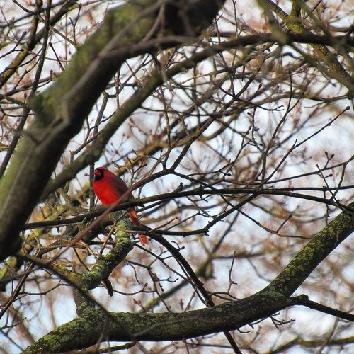 Bird Branch Tree Animal Themes Perching Red Animals In The Wild Bare Tree Low Angle View No People Cardinal - Bird Animal Wildlife Nature One Animal Beauty In Nature Outdoors Parrot Day Woodpecker Ohio, USA Ohio Kent Ohio Spring Springtime