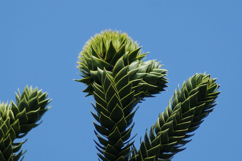 Close-up of succulent plant against clear blue sky