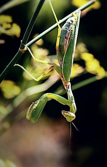 Praying Mantis Beautiful Check This Out Macro Beauty Macro_collection Macro Nature Macro Photography Mantis Mantis Religiosa Mantis Pose Mantis Collections