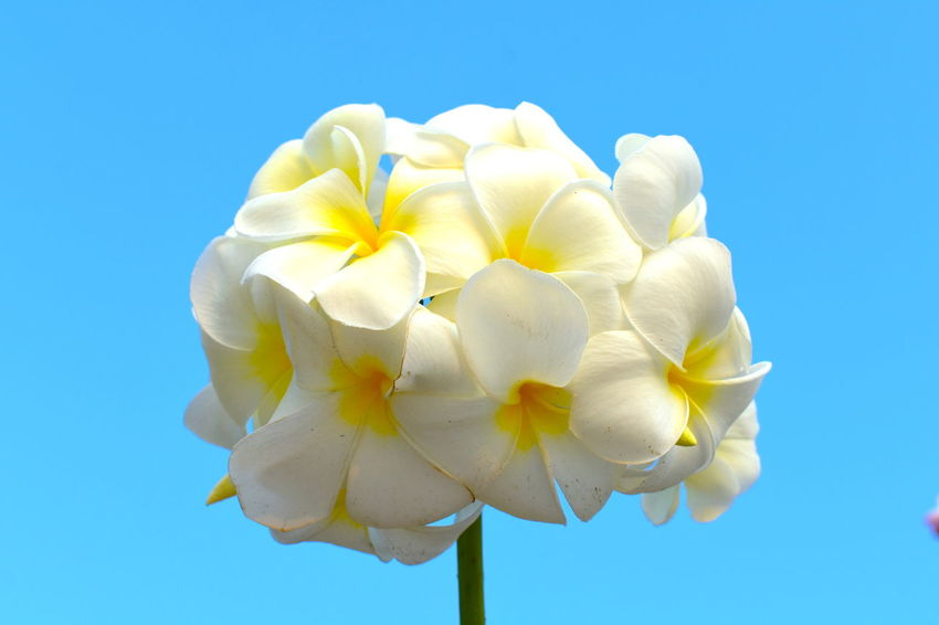 Blooming Plumeria Bunch Spa Flower Spa Symbol Sweet Smelling Flowers Tropical White Flowers White Flowers White Plumeria White Plumeria Bunch In Bright Blue Sky As Background