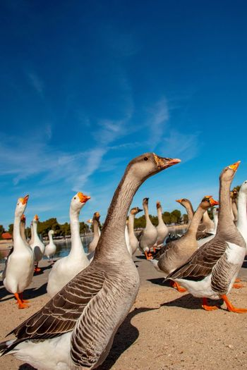 Gaggle of geese walking under a clear blue sky.