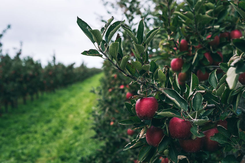 fresh red apples on a tree | daylight photography Green Harvest Season Apple - Fruit Beauty In Nature Close-up Daylight Photography Field Focus On Foreground Food Freshness Fruit Green Color Grey Sky Growth Leaf Nature No People Outdoors Plant Plant Part Red