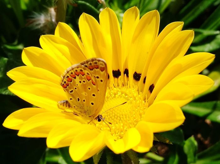 Paint The Town Yellow Flower Petal Yellow Flower Head Plant Fragility Nature Insect Blossom Vibrant Color Botany Beauty In Nature Freshness Stamen Outdoors Uncultivated Close-up Day No People Growth Butterfly