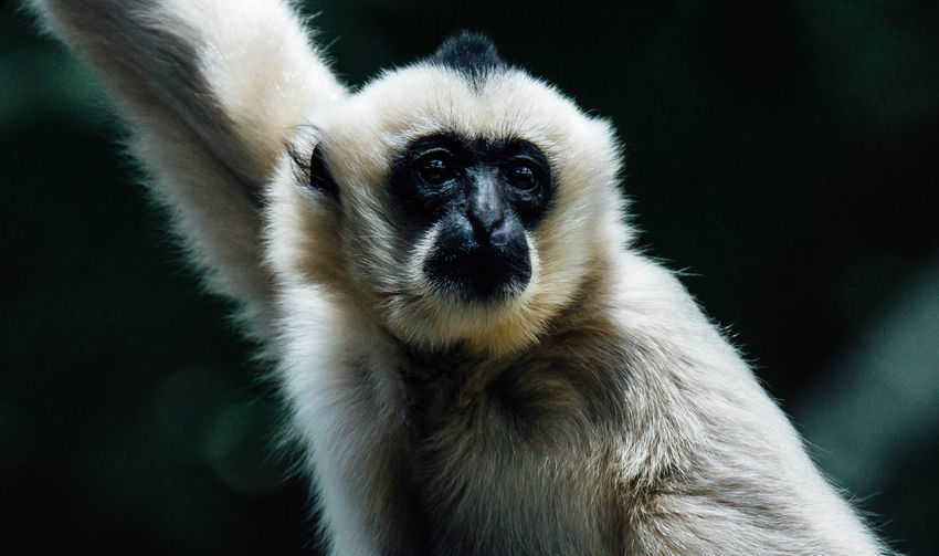 Animal Hair Animal Head  Captive Close-up Focus On Foreground Gibbon Mammal Monkey Nature Portrait Whisker Zoo
