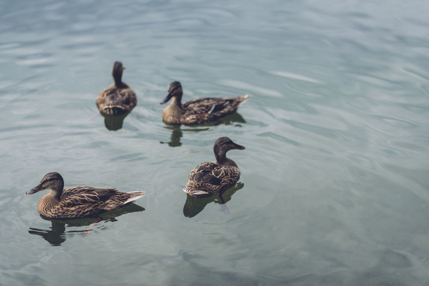 Looking Down Nature Swimming Animals Blue Ducks Lake Peaceful Summer Water