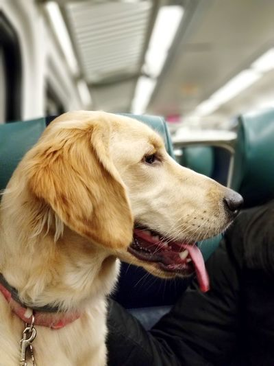 after a hard day at work, home is just a train ride away... Commuter PuppyLove Puppiesofinstagram Pup Puppyoftheday Pupper Puppy🐶 Golden Retriever Goldenretrievers Goldenretriever Goldenretrieverpuppy Goldenretrievertoday Goldenretrieverofinstagram Doggo Doggie Dogstagram Dogsofinstagram Dogsofinstaworld Pets Dog Protruding Close-up Retriever Golden Retriever Canine Puppy Pet Collar Leash Animal Tongue
