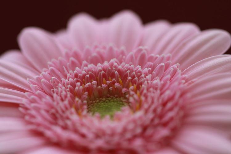 Close-Up Of Pink Gerbera Daisy