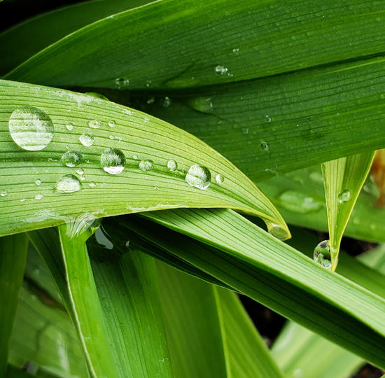 Curved  Curve Day Lily Nature Naturephotography Outdoors Green Macro Photography Macro Leaves Dew Drops Leaf Water Close-up Plant Green Color Dew Water Drop Wet Rain Rainfall Rainy Season Drop RainDrop Leaf Vein Droplet