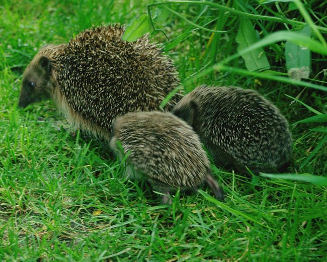 Porcupines walking on grass