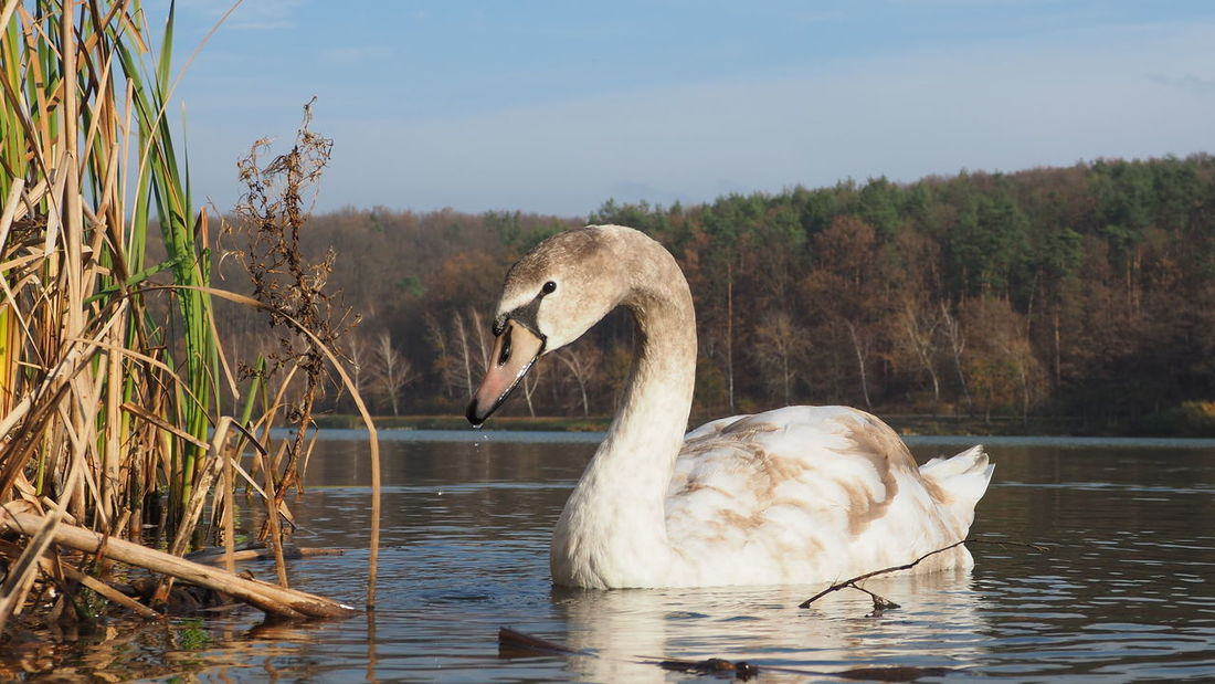 swan Slovakia Swan Bird Water Lake Water Bird White Swan