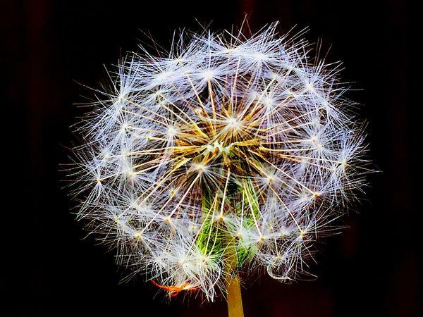 ❤️ ich liebe sie einfach 😍 die Pusteblumen Dandelion Pusteblume Pusteblumen Love It ❤ Flower Flower Collection Garden Garden Flowers Flowers, Nature And Beauty LifeLoveLaugh Enjoy Enjoying Life