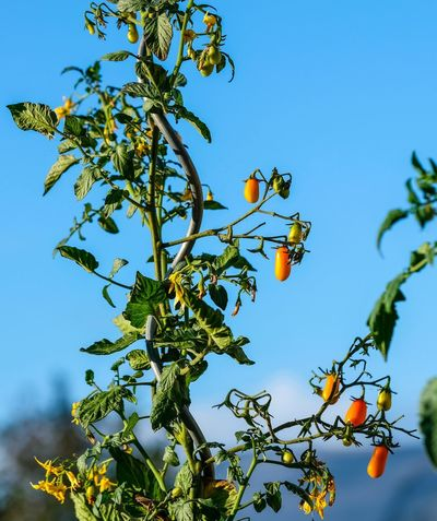 Tomatenpflanze Beauty In Nature Blue Branch Day Focus On Foreground Food Food And Drink Freshness Frucht Fruit Green Color Growth Healthy Eating Leaf Low Angle View Nature No People Orange Outdoors Plant Plant Part Ripe Sky Tree
