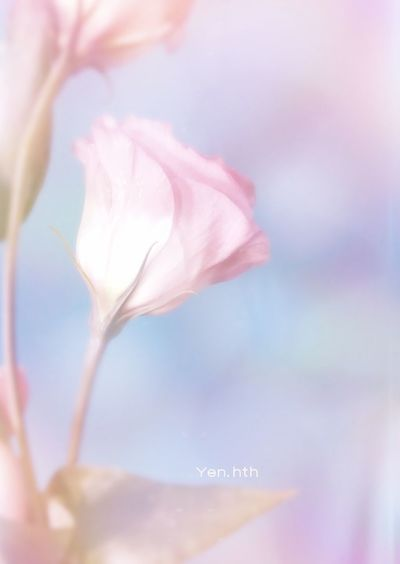 Amazing_flowers Nature_pic Flowersgram Flower_lovers Macro Flower_nature Amazing_flowerz Rose - Flower Flora Ip_blossoms Flowers_daily Kings_flora Beauty In Nature Flowershot IGSCFLOWERS Macrophotography Pastel Colored Pink Color Nature Flower Head Flower