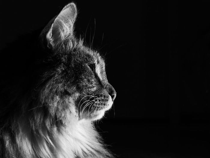 BnW Cat, Darkness, abstract Whisker Close-up Black Background Indoors  No People Domestic Cat Domestic Animals Feline Domestic Pets Vertebrate Cat Mammal Animal Animal Themes One Animal Studio Shot Indoors  Looking Looking Away Animal Body Part Animal Head  Profile View Maine Coon Cat Mouth Open Animal Mouth