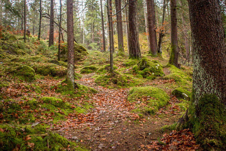 Forest Land Tree Plant WoodLand Tree Trunk Trunk Scenics - Nature No People Nature Autumn Plant Part Tranquil Scene Non-urban Scene Tranquility Leaf Beauty In Nature Footpath Environment Landscape Outdoors Pine Tree Pine Woodland Trail