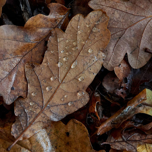 Close-up of dry maple leaf on land