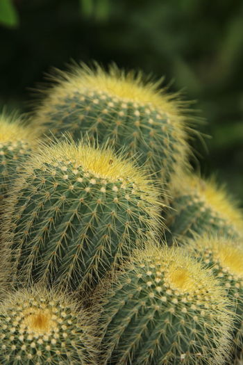 Prickly Pear Cactus Natural Parkland Desert Cactus Spiked Uncultivated Wilderness Area Thorn Close-up Plant Flower Head