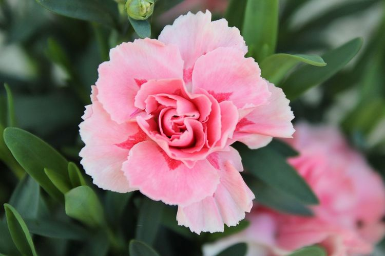 Blooming Blume Pflanze Stiefmütterchen Nelke Botany Close-up Flower Flower Head Pansies Carnation Springtime