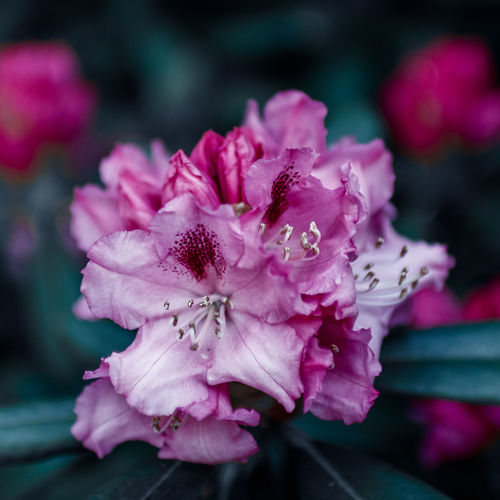 Fine Art Flower Photography Fine Art Photography Flower Art Nature Rhododendron Art Bokeh Botanic Botanical Garden Canon EOS 750D Color Grading Colorful Detail Fine Art Flower Leaves Macro Sigma 30mm/1.4 Art